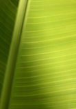 текстура листьев тропическая Стоковые Фото