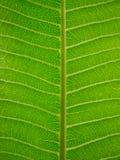 текстура листьев frangipani Стоковые Изображения