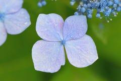 Текстура макроса голубых цветков гортензии Стоковые Фотографии RF