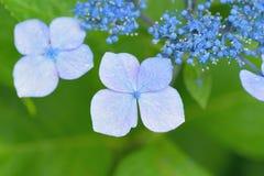 Текстура макроса голубых цветков гортензии Стоковые Фото