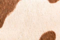 Текстура макроса детальная коричневого меха коровы Стоковое Изображение RF