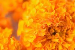 Текстура макроса живого покрашенного индийского Mary-золота цветет Стоковые Фотографии RF
