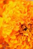 Текстура макроса живого покрашенного индийского Mary-золота цветет Стоковое Фото