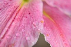 Текстура макроса пинка покрасила поверхность лилии с капельками воды Стоковое Изображение RF