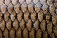 текстура маштабов рыб Стоковые Фотографии RF