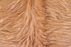 Текстура меха коровы (кожи) Стоковая Фотография
