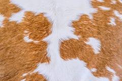 Текстура меха коровы (кожи) Стоковые Изображения