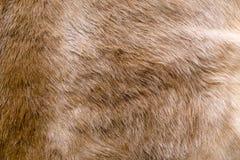 Текстура меха коровы Стоковое Изображение RF