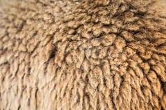 Текстура меха овец Стоковое Фото