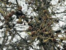 Текстура много уникально спрус, ветви сосны с конусами сосны и иглы сфотографировала в режиме портрета против неба Стоковая Фотография