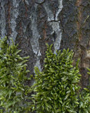 Текстура мха на коре дерева Стоковые Изображения RF