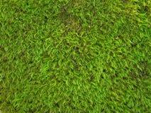 текстура мха предпосылки зеленая Стоковое Изображение