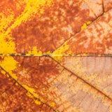 Текстура на лист Wither Teak стоковое изображение