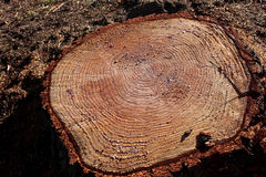 Текстура отрезка древесины Стоковое фото RF
