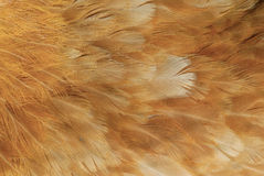 текстура пера цыпленка Стоковая Фотография