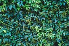 Текстура плюща выходит крупный план зеленая стена Стоковое Фото