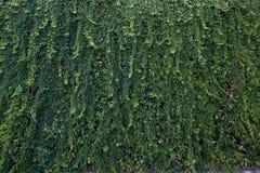 Текстура плюща Предпосылка изгороди плюща Фон Ivyberry Обои плюща Изображение backround Ivyberry Стена плюща Стоковое Фото
