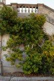 Текстура плюща Предпосылка изгороди плюща Фон Ivyberry Обои плюща Изображение backround Ivyberry Стена плюща Стоковая Фотография