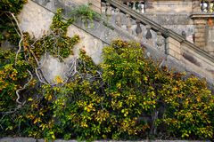 Текстура плюща Предпосылка изгороди плюща Фон Ivyberry Обои плюща Изображение backround Ivyberry Стена плюща Стоковые Фотографии RF