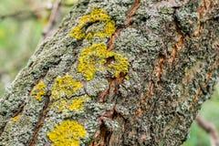 Текстура поверхности расшивы вишни деревянная с мхом Стоковая Фотография RF