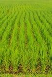Текстура поля риса зеленой травы Стоковые Изображения RF