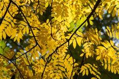 Текстура, предпосылка, картина Красные листья осени желтого зеленого цвета дальше стоковая фотография rf