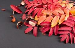 Текстура, предпосылка Листья осени рябины красные, florid, студия стоковое фото rf