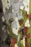 Текстура предпосылки дерева Влажная platan расшива стоковые изображения