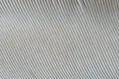 Текстура предпосылки конца-вверх пера голубя Стоковое фото RF
