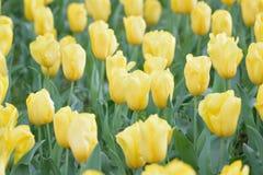 Текстура предпосылки макроса желтых цветков тюльпана Стоковые Фото