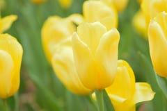 Текстура предпосылки макроса желтых цветков тюльпана Стоковое Фото