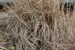 Текстура предпосылки высушенных орнаментальных трав Стоковые Фото