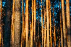 Текстура предпосылки леса захода солнца хоботов сосны Стоковые Фотографии RF