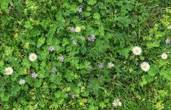 Текстура предпосылки зеленой травы и белых цветков Стоковое Изображение RF