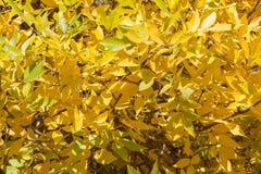 Текстура предпосылки листьев осени желтого золота на дереве в Стоковые Изображения