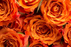 Текстура предпосылки романтичных оранжевых роз Стоковое Изображение RF