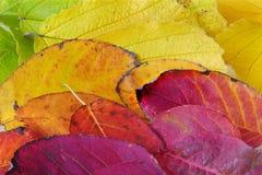 Текстура предпосылки сделанная от красочных листьев осени Стоковые Изображения