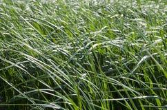 Текстура предпосылки травы - изображение запаса Стоковые Фотографии RF