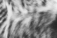Текстура предпосылки striped мех кота, шерсть близко вверх Стоковые Фотографии RF