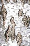 Текстура расшивы березы стоковое изображение
