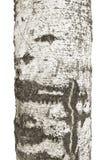 Текстура расшивы березы Стоковое Изображение RF