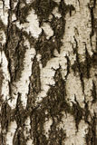 Текстура расшивы белой березы Стоковая Фотография