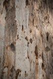 Текстура расшивы евкалипта Стоковые Фотографии RF