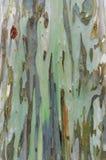 Текстура расшивы дерева евкалипта Стоковые Изображения RF