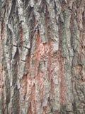 текстура расшивы ели Стоковые Фотографии RF