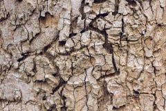 Текстура расшивы масштаба alatus Roxb или Ga Dipterocarpus Стоковая Фотография RF