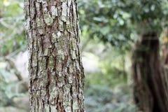 Текстура расшивы масштаба alatus Roxb или Ga Dipterocarpus Стоковые Фотографии RF