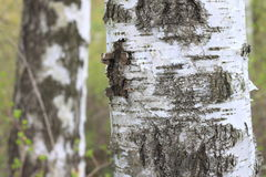 Текстура расшивы ствола дерева березы в крупном плане рощи березы Стоковое фото RF