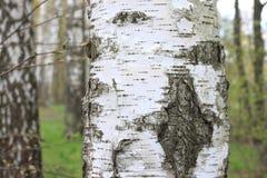 Текстура расшивы ствола дерева березы в крупном плане рощи березы Стоковое Изображение