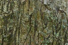 Текстура расшивы дуба Стоковые Изображения